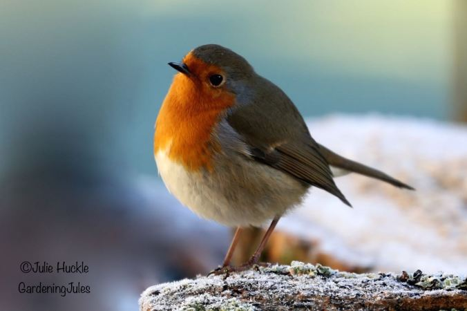 Happy to sit near by, one of our friendly robins