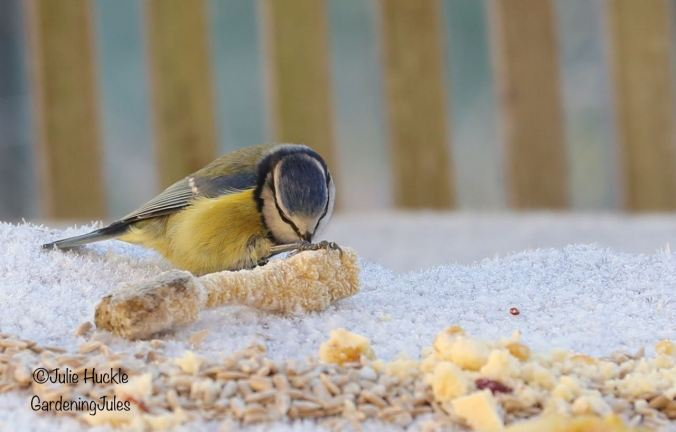Thats not a turkey bone! Blue tit